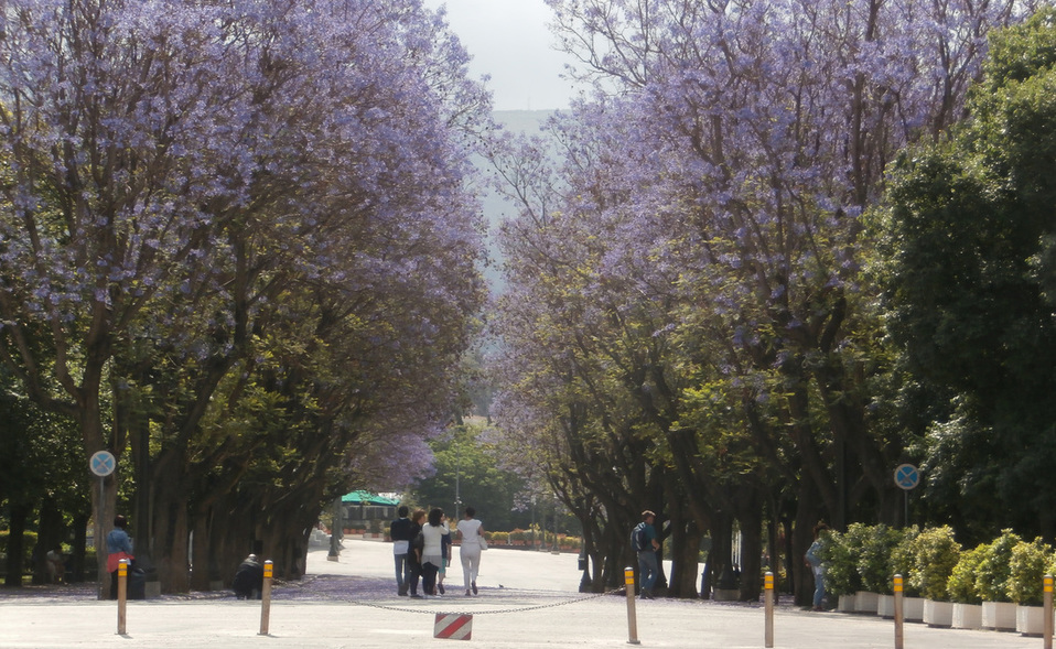 Blooming jacaranda trees (Jacaranda mimosifolia) flanking the main alley of the Zappeion Gardens towards the Zappeion Hall.