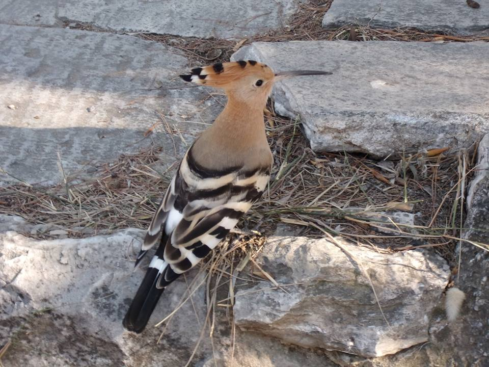 A brave hoopoe, as photographed by John Vellis, flirting with people at close contact by the entrance to the archaeological site of Pnyx.